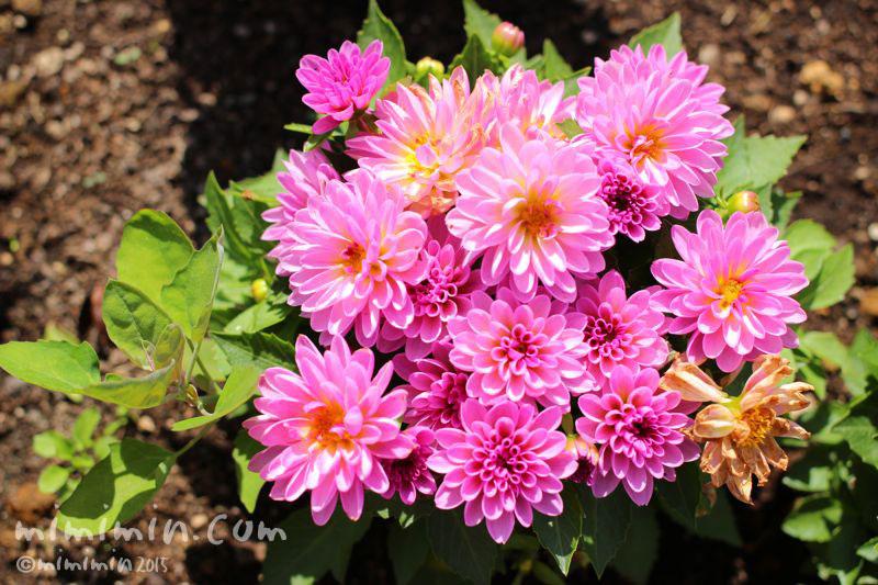 ダリア(プチダリア・スマイル)ピンク色の写真