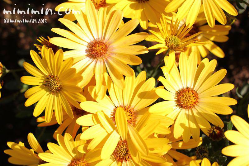 オステオスペルマム(アフリカンデージ)の花の写真