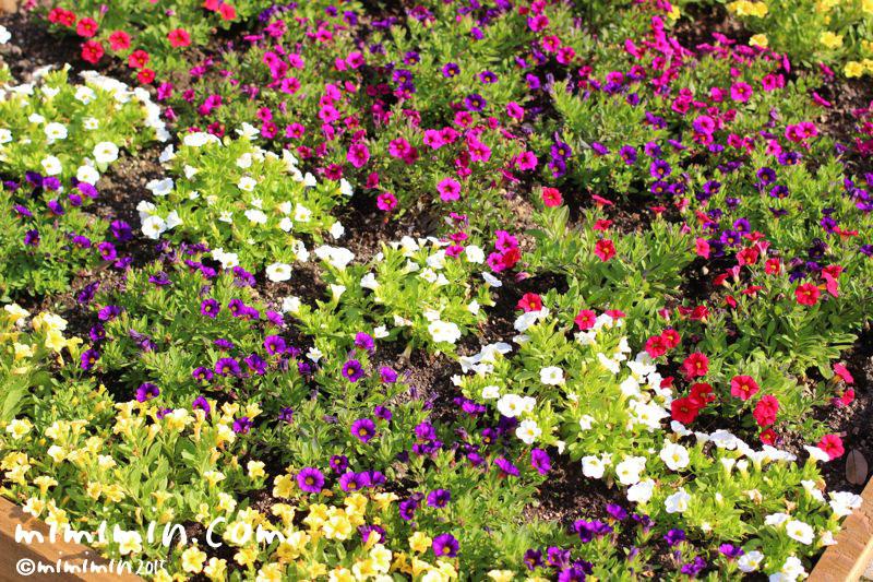 ペチュニアの花(江ノ島)の写真
