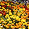 マリーゴールドの花の写真