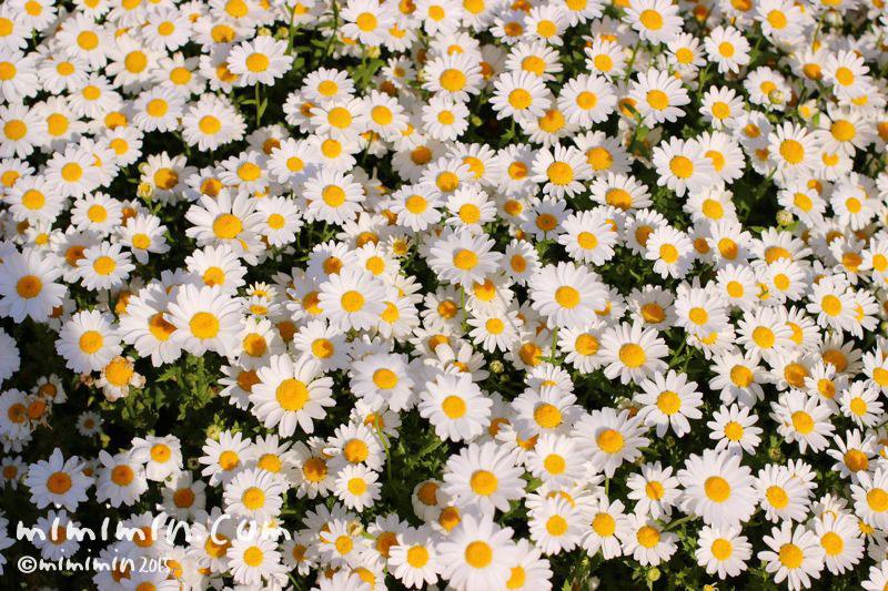 クリサンセマム・ノースポールの花の写真2
