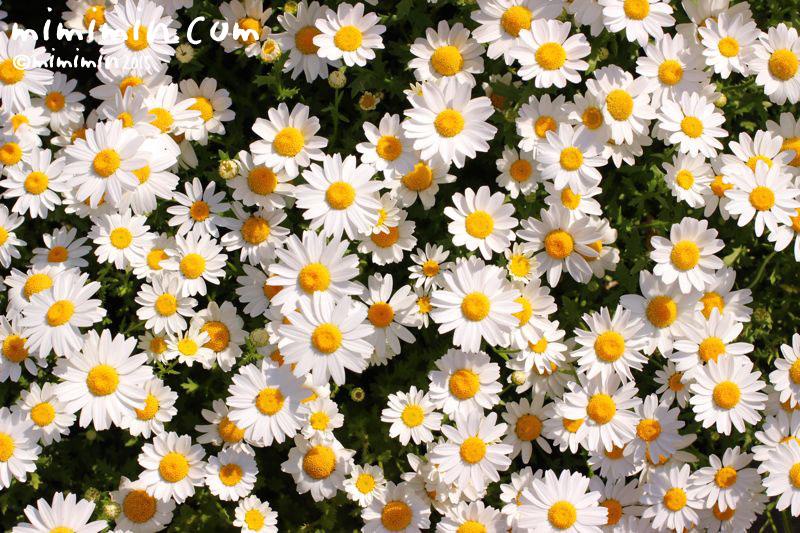 クリサンセマム・ノースポールの花の写真