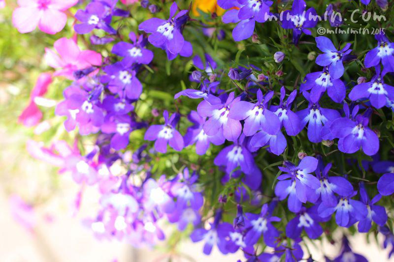 ロベリアの花の写真3