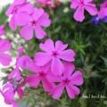 シバザクラ(芝桜)の写真