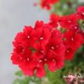 赤いバーベナの写真