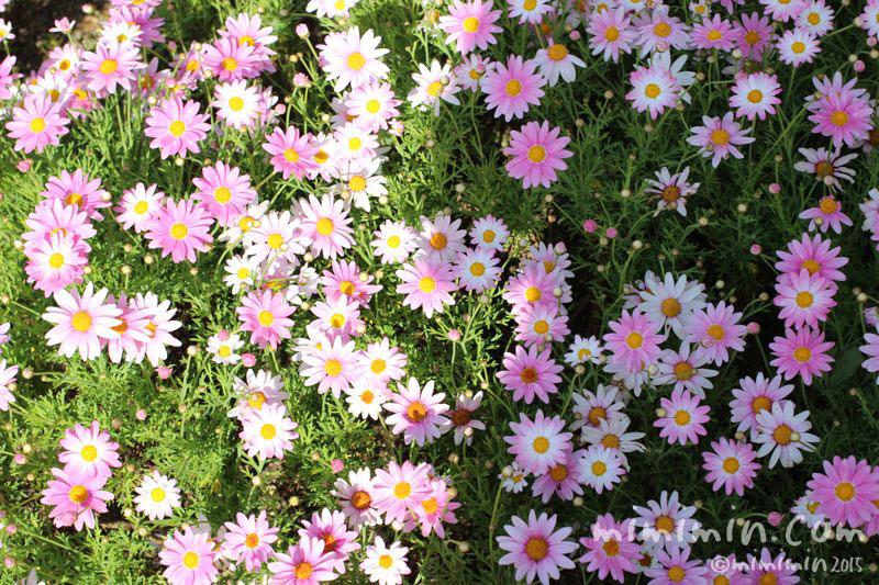 マーガレットの花の写真(江ノ島)
