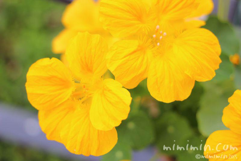 ナスタチウの黄色の花の写真