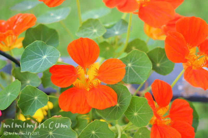 ナスタチウの花の写真