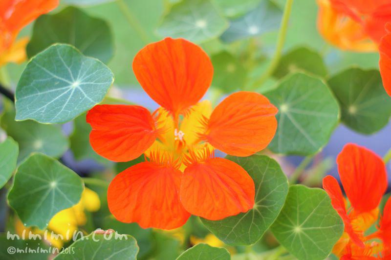 ナスタチウのオレンジ色の花の写真