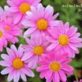 マーガレット(ピンク色)の写真