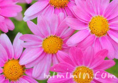 マーガレットの花図鑑&花言葉の画像