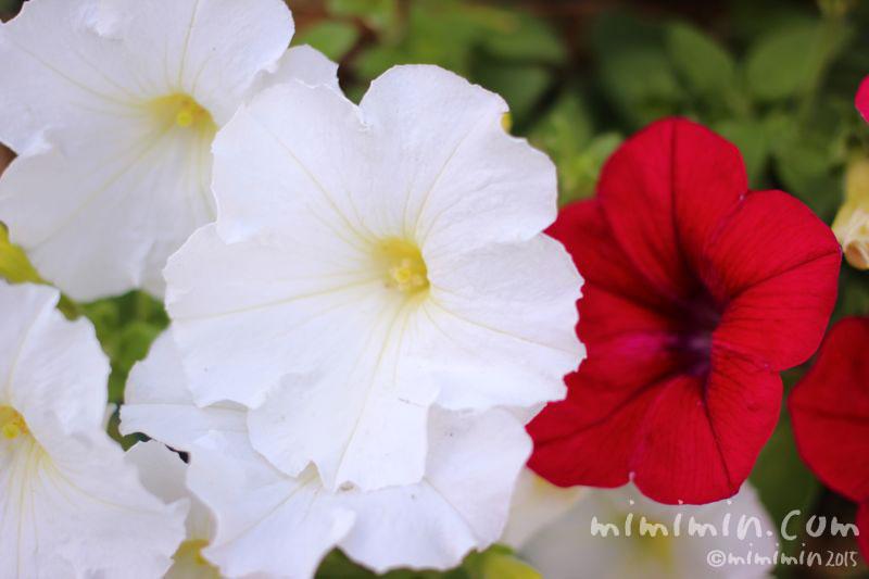 赤いペチュニアと白いペチュニアの花の写真