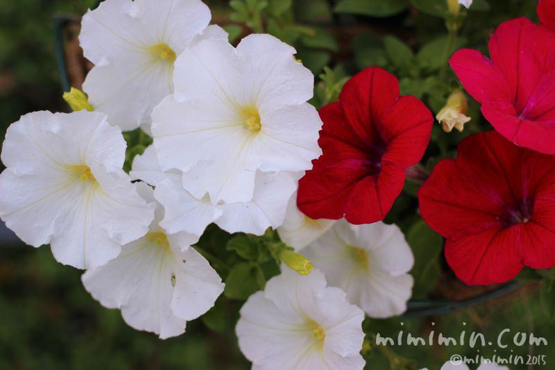 赤と白のペチュニアの画像