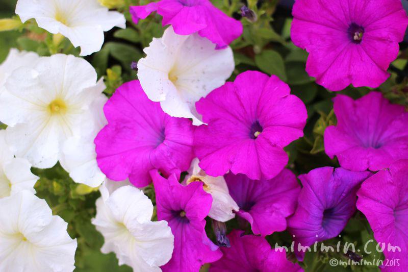 ペチュニアの花の写真