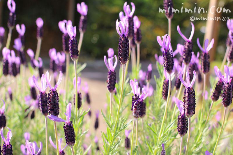 ラベンダーの花の写真