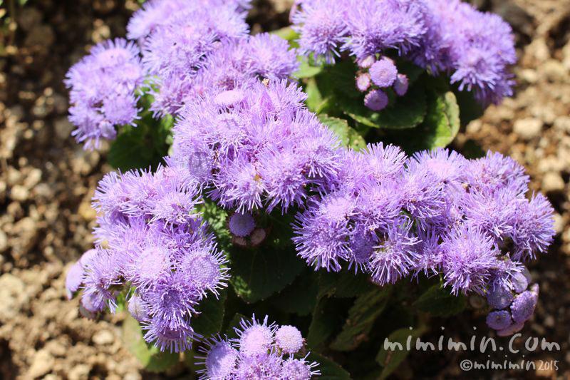 アゲラタムの花