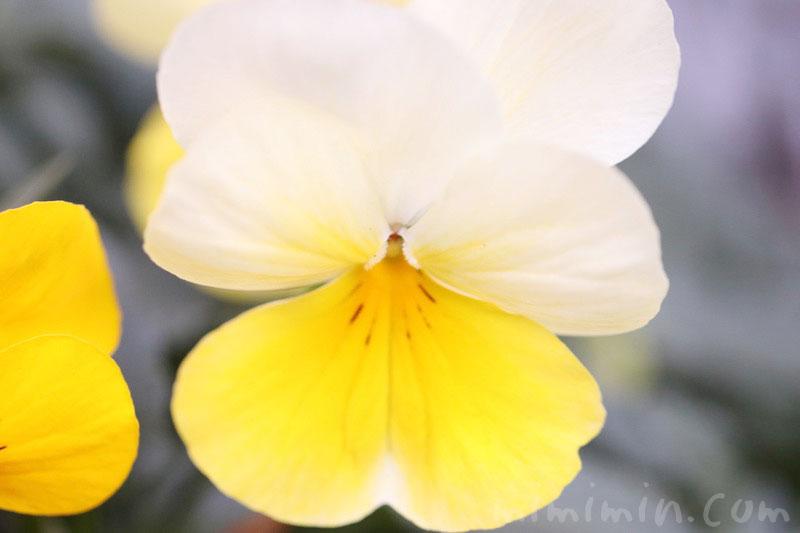 パンジー(黄色×白)の画像