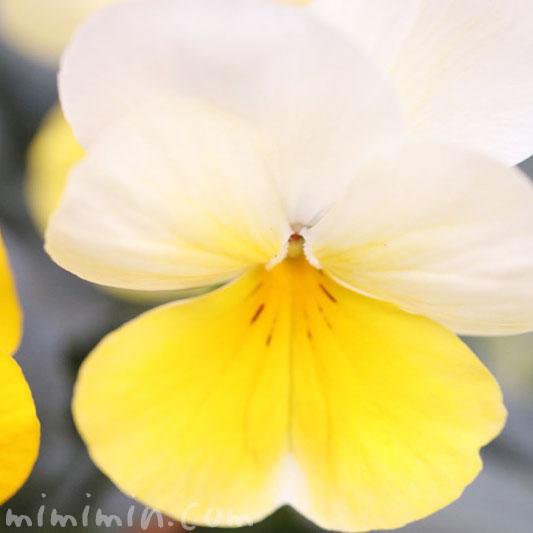パンジーの花言葉・パンジーの花(黄色×白)の写真の画像