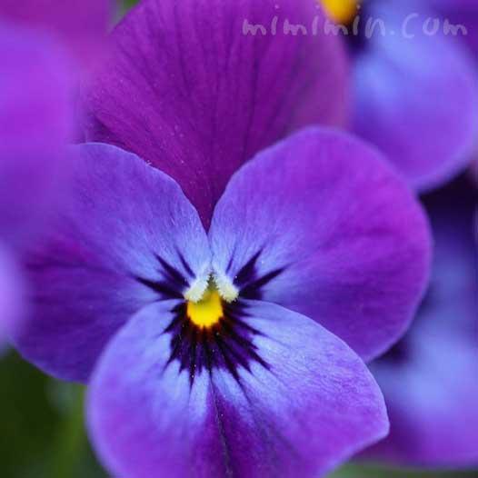 パンジー・紫色