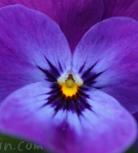 パンジーの花言葉|紫色のパンジーの写真