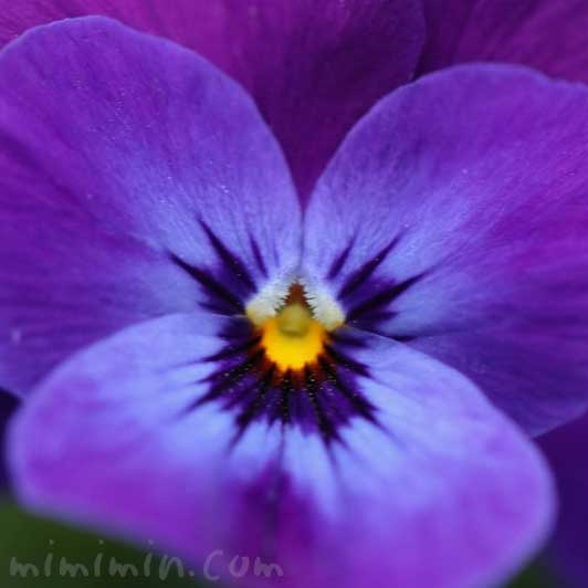 サンシキスミレ(三色菫)の花の写真