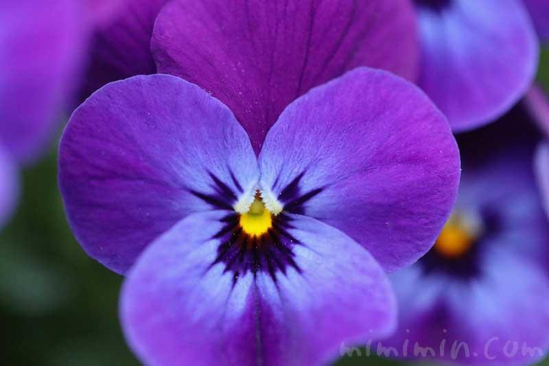 ユウチョウカ(遊蝶花)の画像