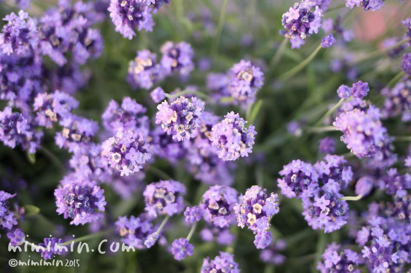 ラベンダー(青紫)の画像