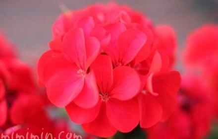 ゼラニウムの花・赤色の写真