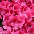 ピンクのサツキの花の画像