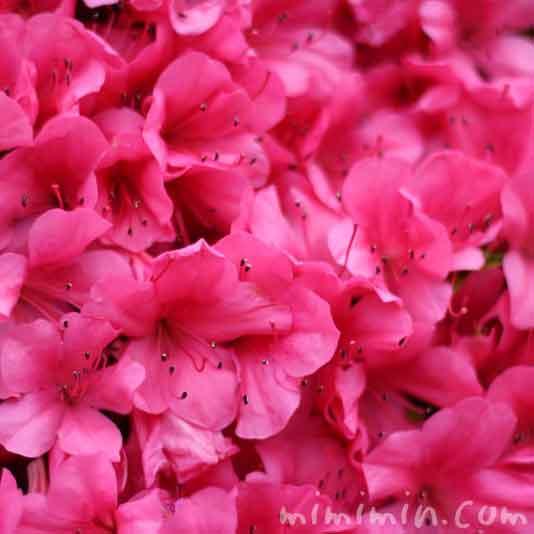サツキ ピンク色の画像