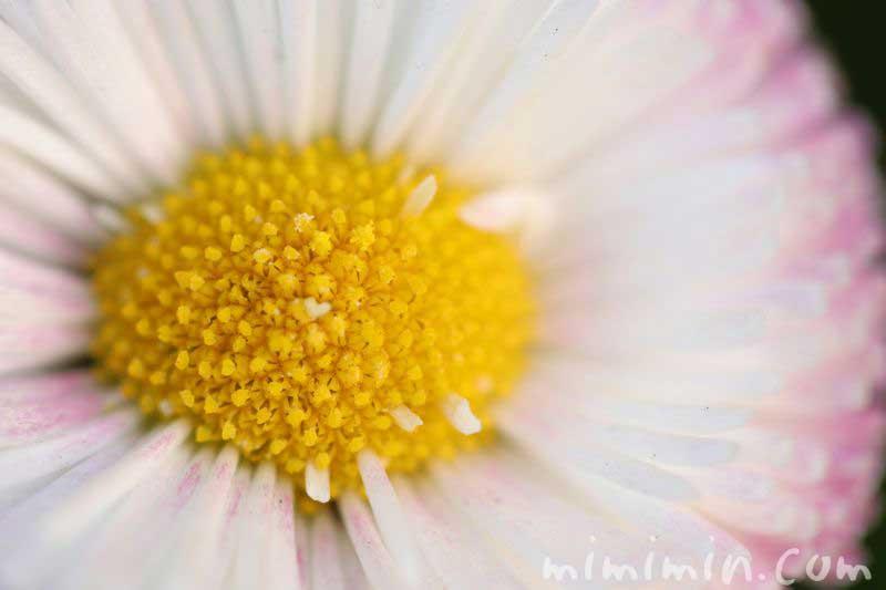 デージーの花言葉の画像