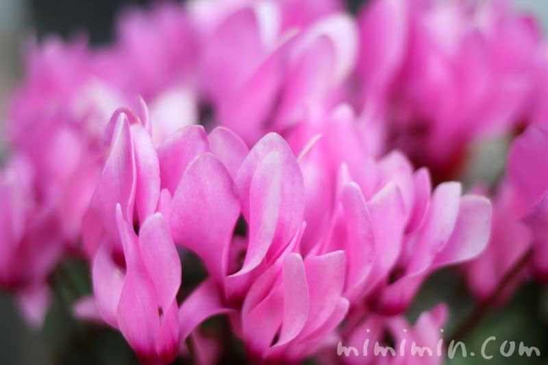 シクラメン・ピンクの写真