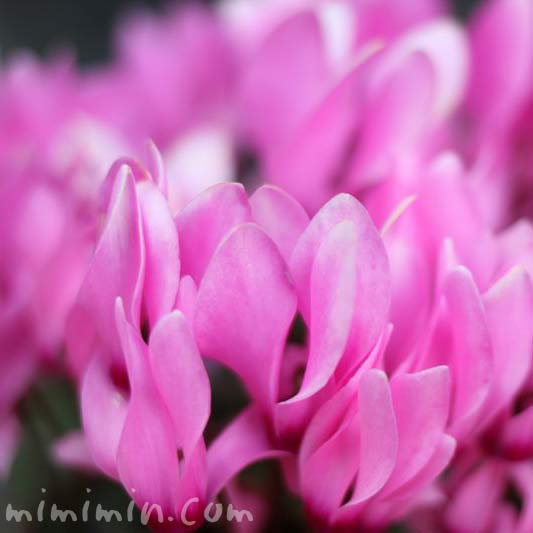 Iシクラメンの花・ピンク色の画像
