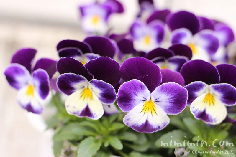 紫色のパンジーの花