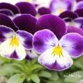 パンジー(紫色)の花の写真