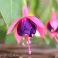 フクシアの花の写真