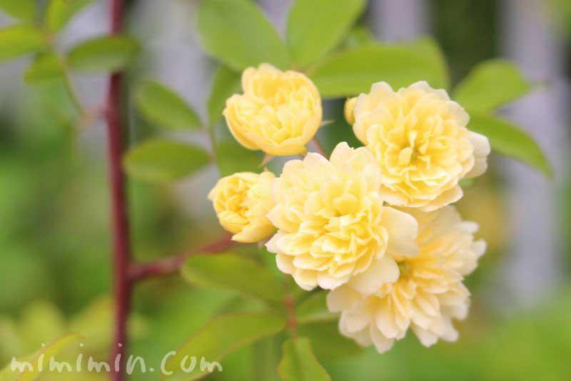 モッコウバラ(木香薔薇)の画像