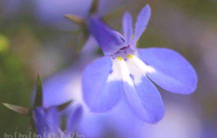 ロベリアの花(青)の画像