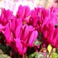 シクラメン(濃いピンク)の写真