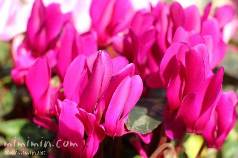 シクラメン(濃いピンク)の花の写真