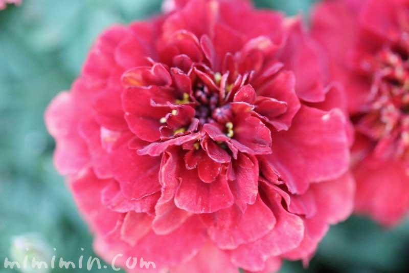 ストロベリーブロンド(フレンチマリーゴールド)の花