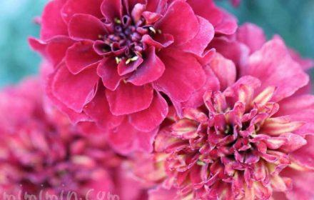 ストロベリーブロンド(フレンチマリーゴールド)赤の花の画像