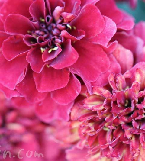 赤いマリーゴールド(花の写真&花言葉)