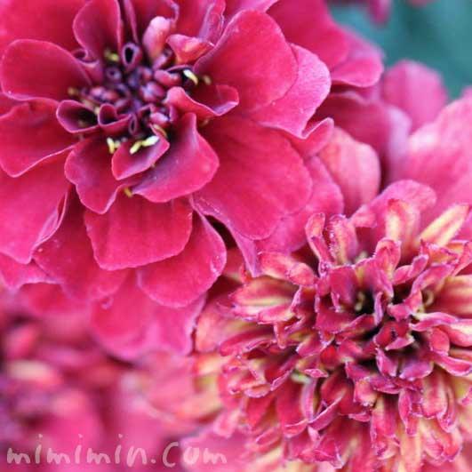 ストロベリーブロンド・赤いマリーゴールドの花