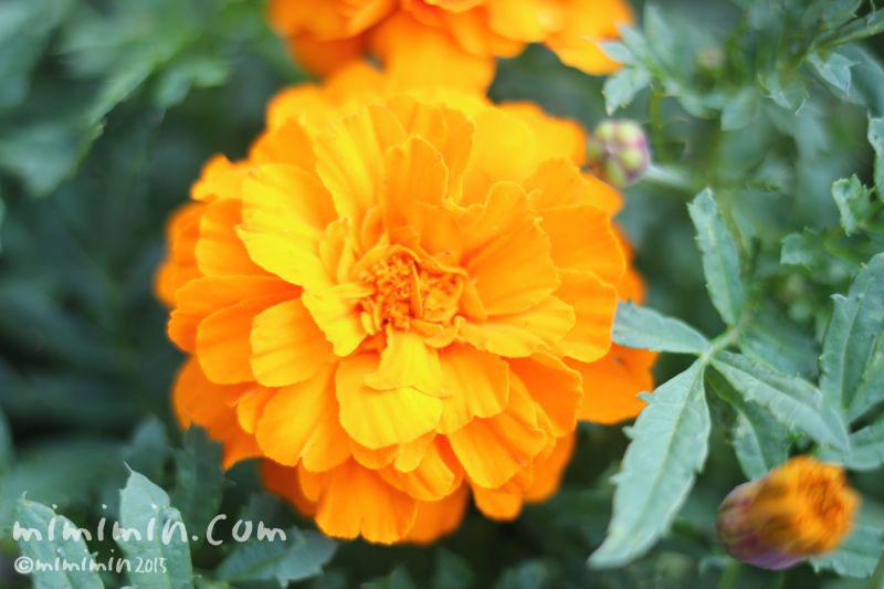 オレンジ色のマリーゴールドの写真