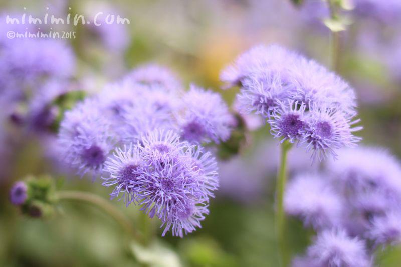 アゲラタム(別名カッコウアザミ)の花の写真