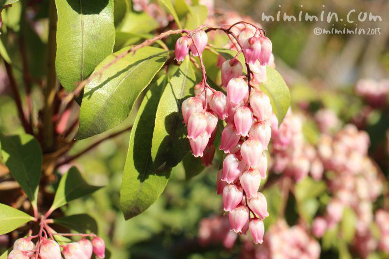 アセビ(ピンク)の花