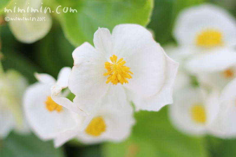 白いベゴニアの花の写真