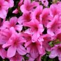 ツツジ(ピンク色)の写真
