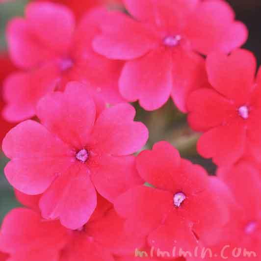 バーベナの花の画像
